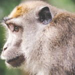animal-wilderness-zoo-monkey
